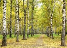 Camino de la mañana en parque lluvioso del abedul del otoño Fotos de archivo