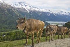 Camino de la montaña del trote del rebaño de vacas Fotografía de archivo