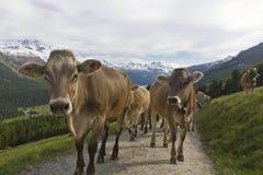 Camino de la montaña del trote del rebaño de vacas Fotos de archivo