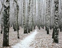 Camino de la nieve en bosque del abedul del otoño Fotografía de archivo