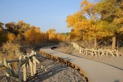 Camino de madera en árboles del euphratica del populus Foto de archivo libre de regalías