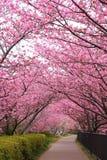 Camino de Sakura Fotos de archivo libres de regalías