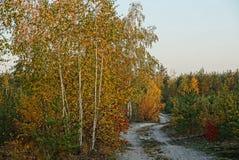 Camino de Sandy a lo largo del abedul amarillo y de la vegetación en el bosque Imagenes de archivo