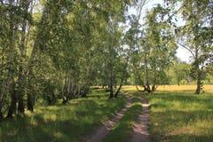 Camino de tierra en bosque del abedul Foto de archivo libre de regalías