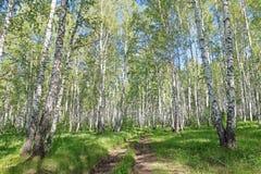 Camino de tierra en el bosque del abedul del verano en día soleado Imágenes de archivo libres de regalías
