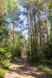 Camino de tierra en un bosque del pino Fotos de archivo libres de regalías