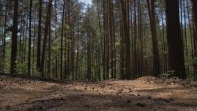 Camino de tierra en un bosque del pino que la cámara vuela sobre un camino de tierra derramado con las agujas del pino en un bosq almacen de metraje de vídeo