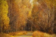 Camino de tierra entre bosque del otoño del abedul Fotos de archivo