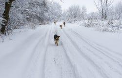 Camino de tierra y cuadrilla hambrienta de perros perdidos que buscan un poco de comida Imágenes de archivo libres de regalías