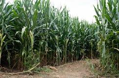 Camino del campo de maíz Fotografía de archivo libre de regalías