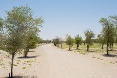 Camino del desierto entre el crecimiento de árboles jovenes plantados Imagenes de archivo