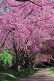Camino del flor de cereza Imagenes de archivo