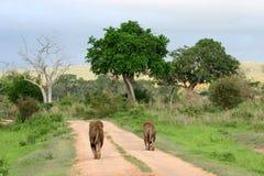 Camino del león Foto de archivo libre de regalías