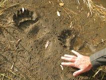 Camino del oso del grisáceo (impresiones del pie) Foto de archivo libre de regalías