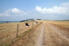 Camino del polvo de la vaca Imagenes de archivo
