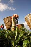 Camino del té Fotos de archivo libres de regalías