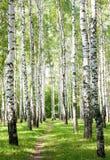 Camino del verano en el bosque soleado del abedul Fotos de archivo libres de regalías