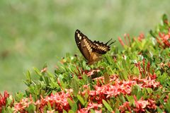 Camino dulce de la mariposa Fotografía de archivo