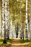 Camino en arboleda del abedul de la tarde del otoño Fotos de archivo libres de regalías