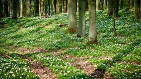 Camino en bosque con windflower Fotos de archivo libres de regalías