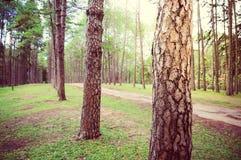 Camino en bosque del árbol de pino Foto de archivo libre de regalías