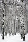 Camino en bosque del abedul del invierno Imágenes de archivo libres de regalías
