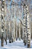 Camino en bosque del abedul del invierno en el cielo azul Foto de archivo libre de regalías