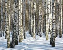 Camino en bosque del abedul del invierno en tiempo soleado Fotos de archivo libres de regalías