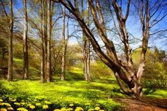Camino en bosque del abedul en la primavera Imagenes de archivo