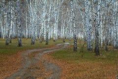 Camino en bosque del abedul en otoño Imagenes de archivo