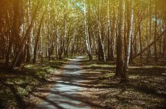 Camino en bosque del abedul en la primavera Fotografía de archivo