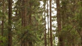 Camino en bosque del pino almacen de video