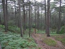 Camino en el bosque del pino Fotos de archivo libres de regalías