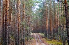 Camino en el bosque denso del pino Imagen de archivo libre de regalías