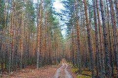 Camino en el bosque denso del pino Foto de archivo libre de regalías