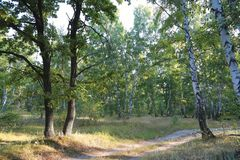Camino en el bosque entre abedules y ¼ del oaksÐ Imagen de archivo libre de regalías