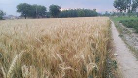 Camino en el campo de las cosechas Imágenes de archivo libres de regalías