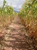 Camino en el maíz Imágenes de archivo libres de regalías