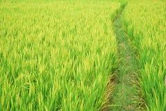 Camino en los campos de arroz fotografía de archivo libre de regalías