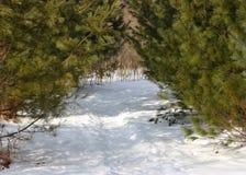 Camino en los pinos Imágenes de archivo libres de regalías