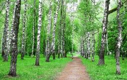 Camino en parque del abedul de la primavera Foto de archivo libre de regalías