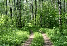 Camino en un bosque del abedul Fotografía de archivo libre de regalías