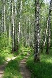 Camino en un bosque del abedul Fotografía de archivo