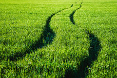 Camino en un campo del trigo verde Foto de archivo libre de regalías