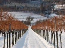 Camino en un viñedo en invierno Fotos de archivo