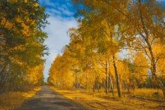 Camino en una arboleda del abedul del otoño Imágenes de archivo libres de regalías