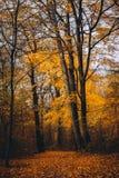 Camino entre los árboles de la altura con las hojas de oro en el bosque del otoño fotografía de archivo