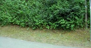 Camino entre los árboles verdes de los árboles verdes en el pueblo de las tierras del verde de Alemania de los fondos hermosos de almacen de metraje de vídeo