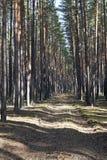 Camino entre los pinos Fotos de archivo libres de regalías