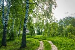 Camino forestal al borde de una arboleda del abedul Imagen de archivo libre de regalías